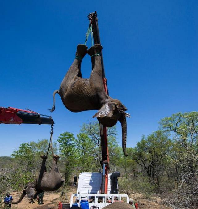Такое не каждый день увидишь: перевозка стада слонов