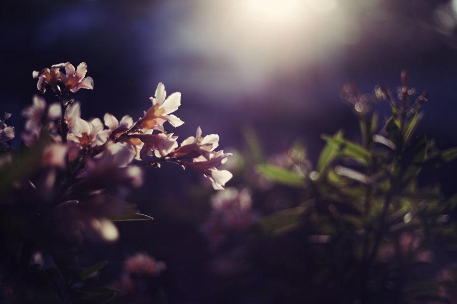 Благоухающие ночецветы