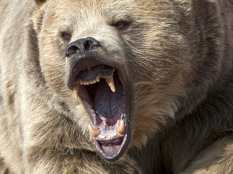 Притравочные станции по-новому: медведь должен быть без привязи и с когтями