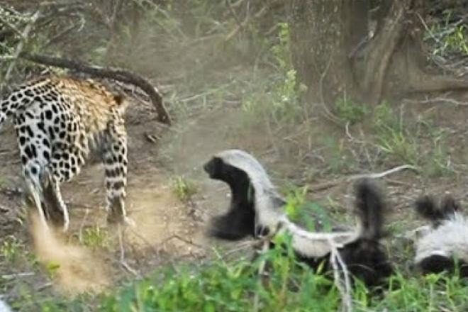Ягуар напал на медоеда и тут же получил отпор от его