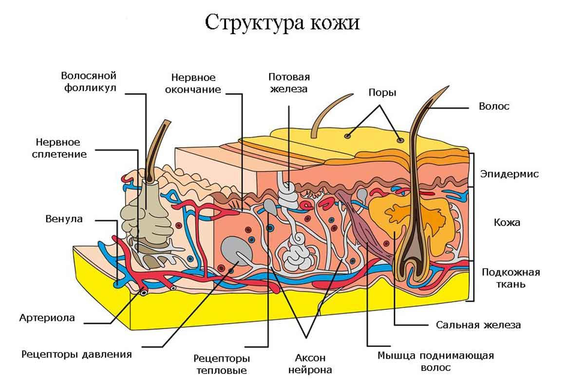 Картинка состав кожи