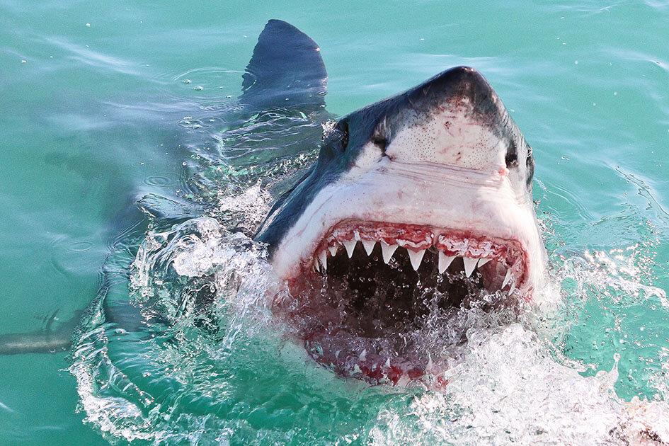 акулья пасть картинки тебе