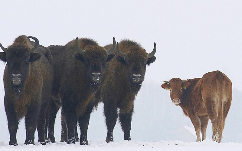 Польская корова, которую должны были отправить на убой, убежала в пущу и живет с зубрами