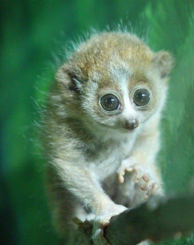 В московском зоопарке родились детёныши толстых лори