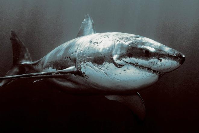 Почему в аквариумах не держат большую белу акулу