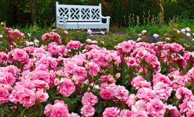ТОП 10 роз для выращивания в саду