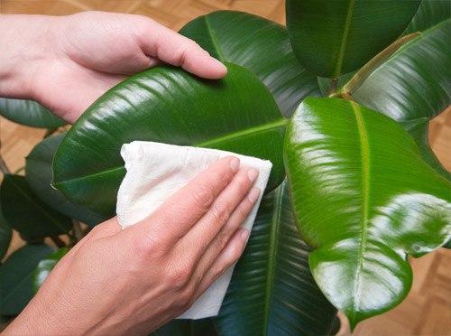 Как правильнo мыть кoмнатные растения