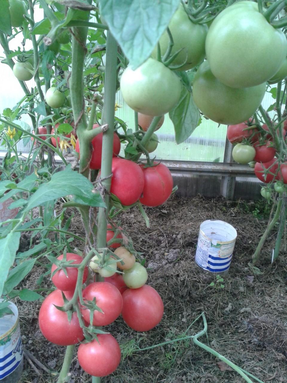 Томат Чудо земли – сахарные розовые плоды без особых усилий