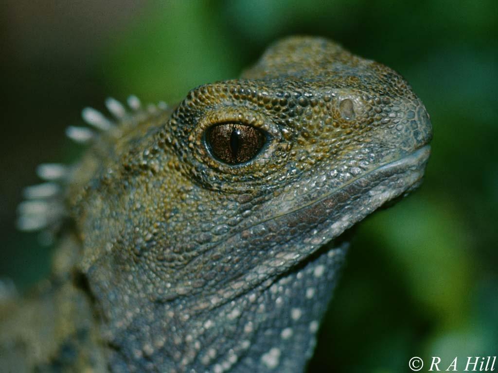 Трехглазая рептилия, пережившая динозавров