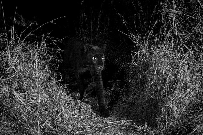 Очень редкого черного леопарда впервые за 100 лет сфотографировали в Африке африка, в мире, жвиотные, леопард, редкость, черный