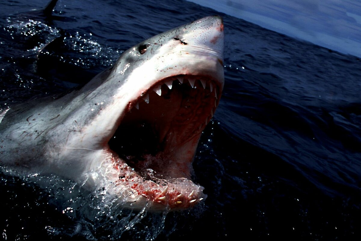 Почему акула макко, никогда не замерзает и является самой быстрой акулой в мире