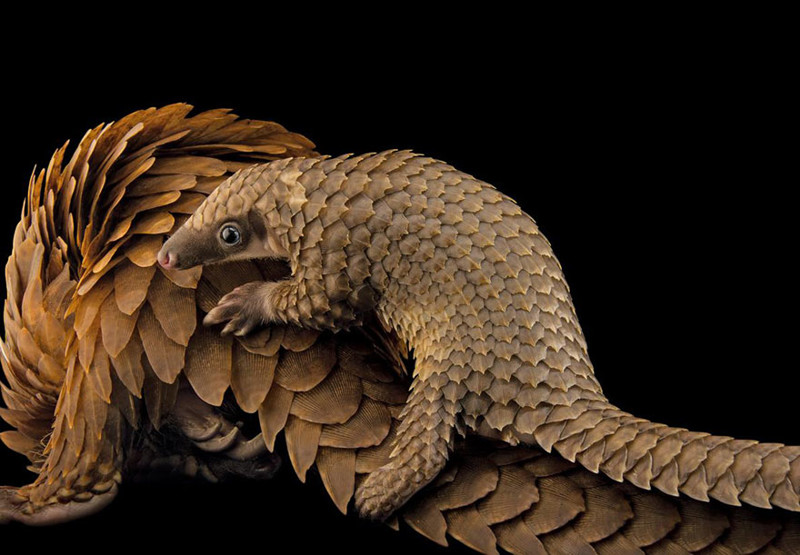 9. Белобрюхий панголин верхом на маме, центр Pangolin Conservation, Сент-Огастин, штат Флорида. national geographic, журнал, мир, фотография