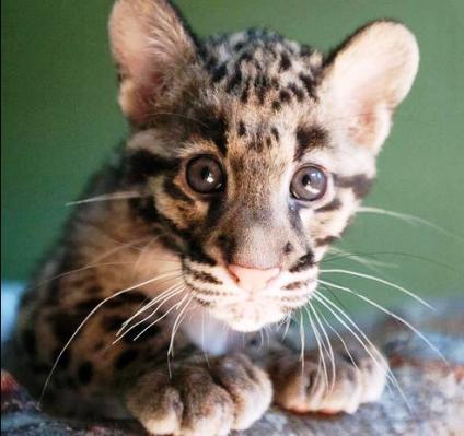 Не подходите слишком близко, этот милый котик  - дымчатый леопард,. Это — настоящий суперкотик!