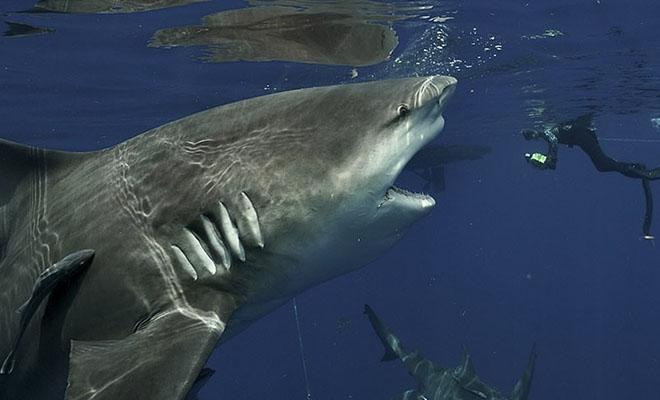 Дайвер снимал подводный мир и не заметил, как сзади подплыла огромная акула и решила его рассмотреть Культура