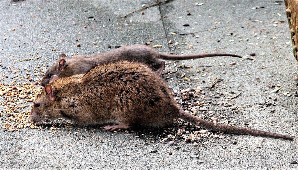 крысы ищейки фото выполнены разных