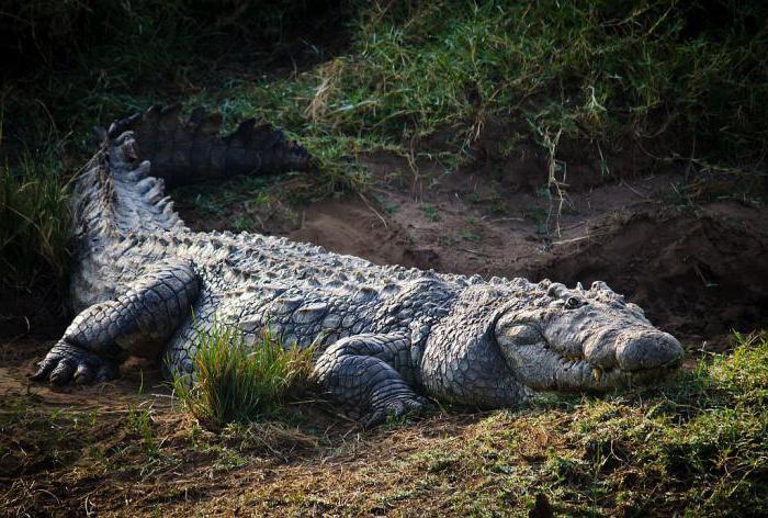 Как крокодилы в 1945  победили японцев на острове Рамри Не может быть