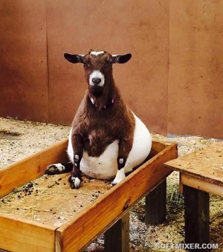 Брюшко домиком: обаяние беременных животных животные,позитив,фотография