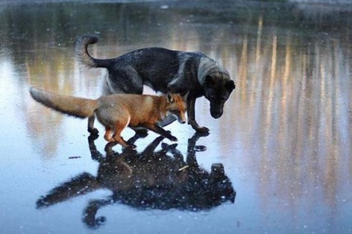 Неожиданные истории дружбы между животными