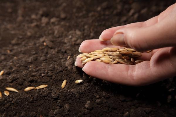 Перед посевом семена следует обработать