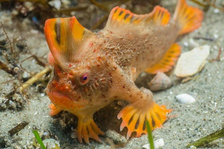 Обнаружена вторая популяция самой редкой в мире рыбы Тасмании, популяцию, дайверы, такой, может, особей, увеличивает, редкой, новую, самой, нетопырь, обитают, очень, обитания, необычные, ракообразными, поиски, рыбы3, Команда, отправилась