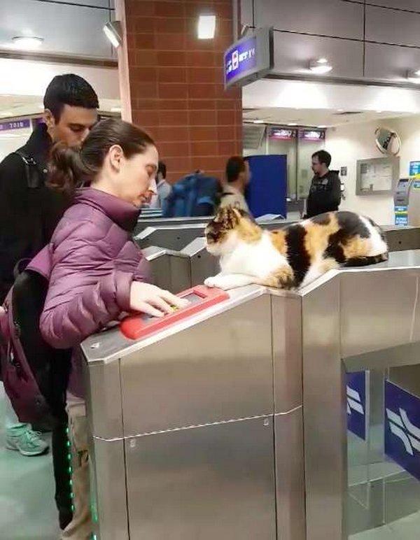 На вокзале пассажиров встречает пушистый контролер бездомные животные, добрые дела, история, коты, кошка, кошки
