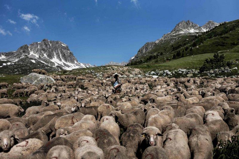 Гаэтан Меме в окружении овец возле Коль дю Гландон, высокогорного перевала в Альпах, Дофине, Савойя, Франция Альпы, жизнь, пастух, работа