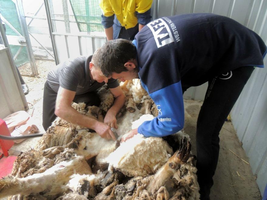 Самая нестриженая овца мира Австралия,животные,интересное,книга рекордов Гиннеса,овца,шерсть