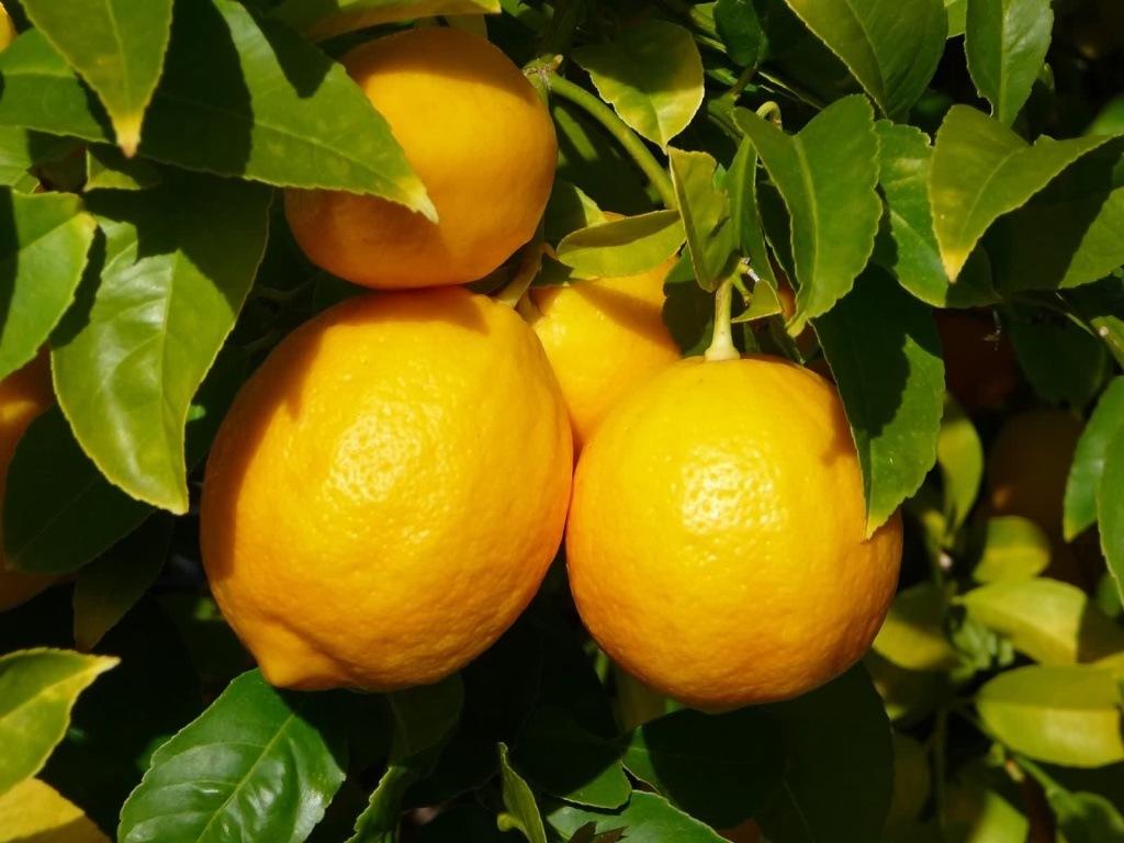 Лимон дженоа описание