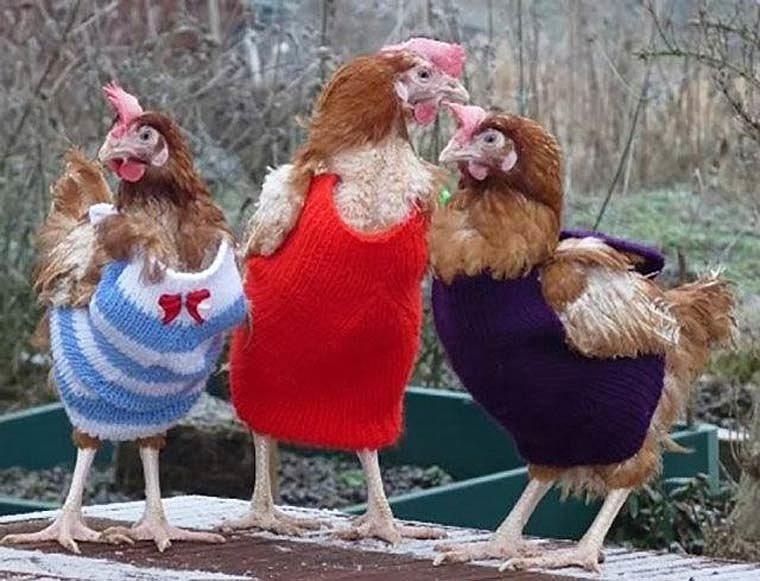 Открытки, картинки доброе утро с курицей прикольные