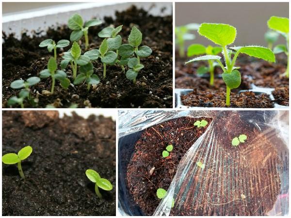 Процесс проращивания семян киви