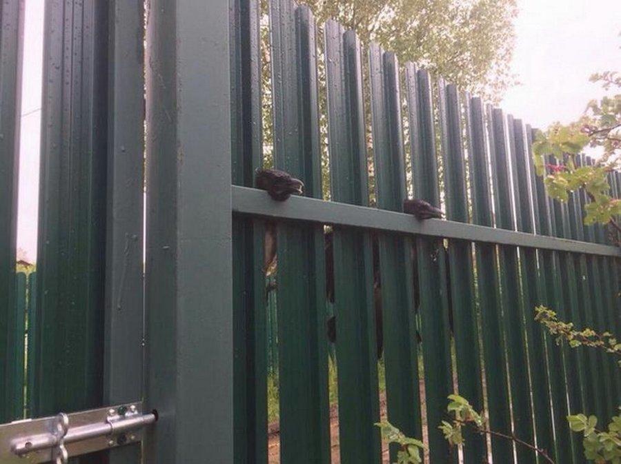 Забор - ловушка для ворон