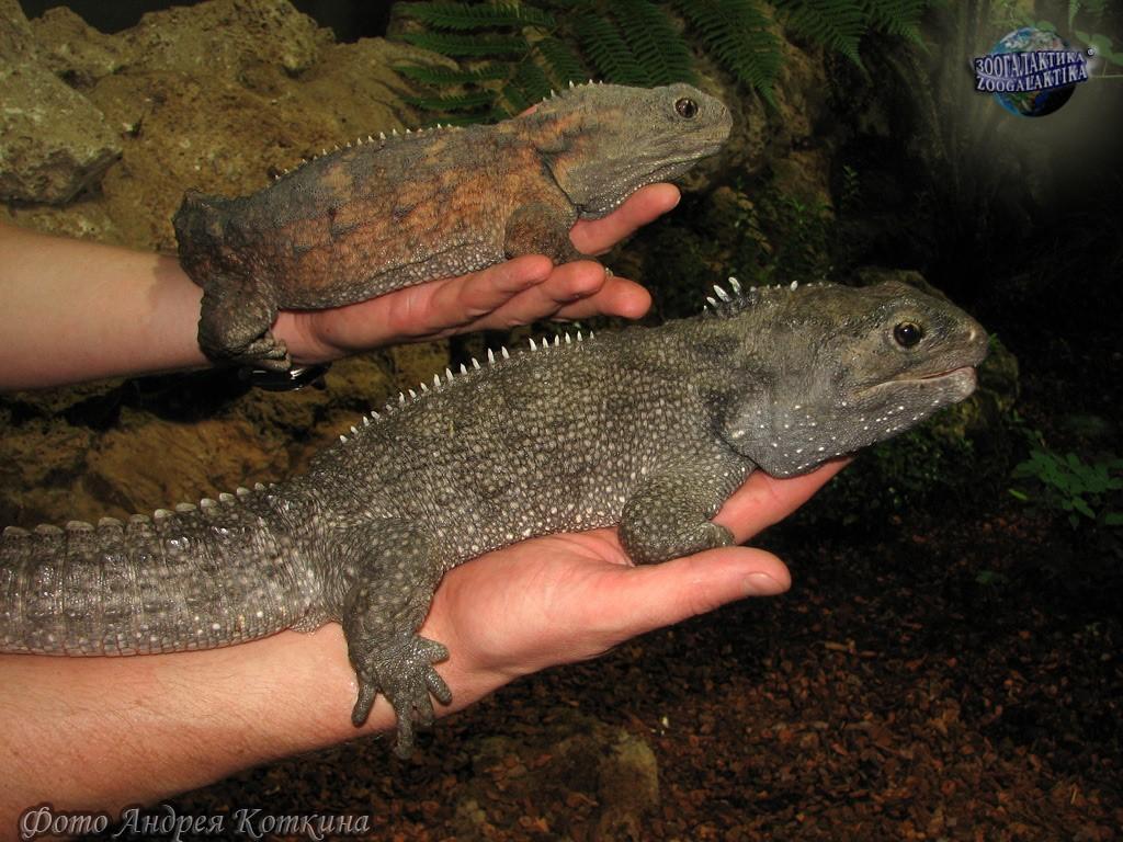 Трехглазая рептилия, пережившая динозавров гаттерии, гаттерия, островах, около, туатара, время, Зеландии, Новой, туатары, туатар, имеют, только, Sphenodon, пресмыкающихся, которых, имеет, вместе, рептилий, может, можно