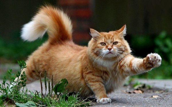 Как трусливый кот на крыс охотился. Дачная байка