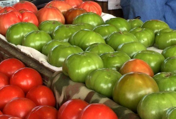 Как ускорить созревание зеленых томатов дача,сад и огород,урожай