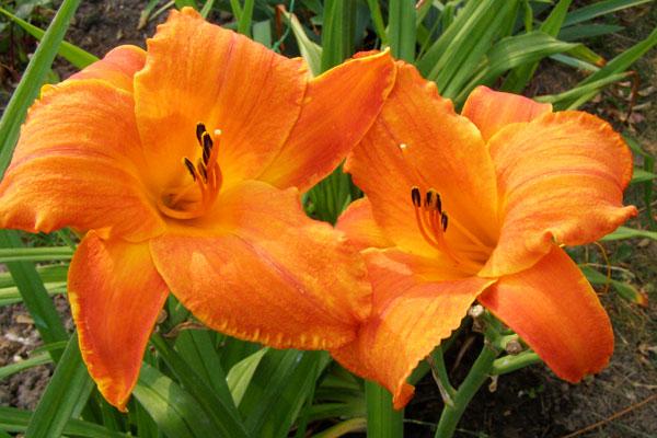Цветы-долгожители для вашего сада