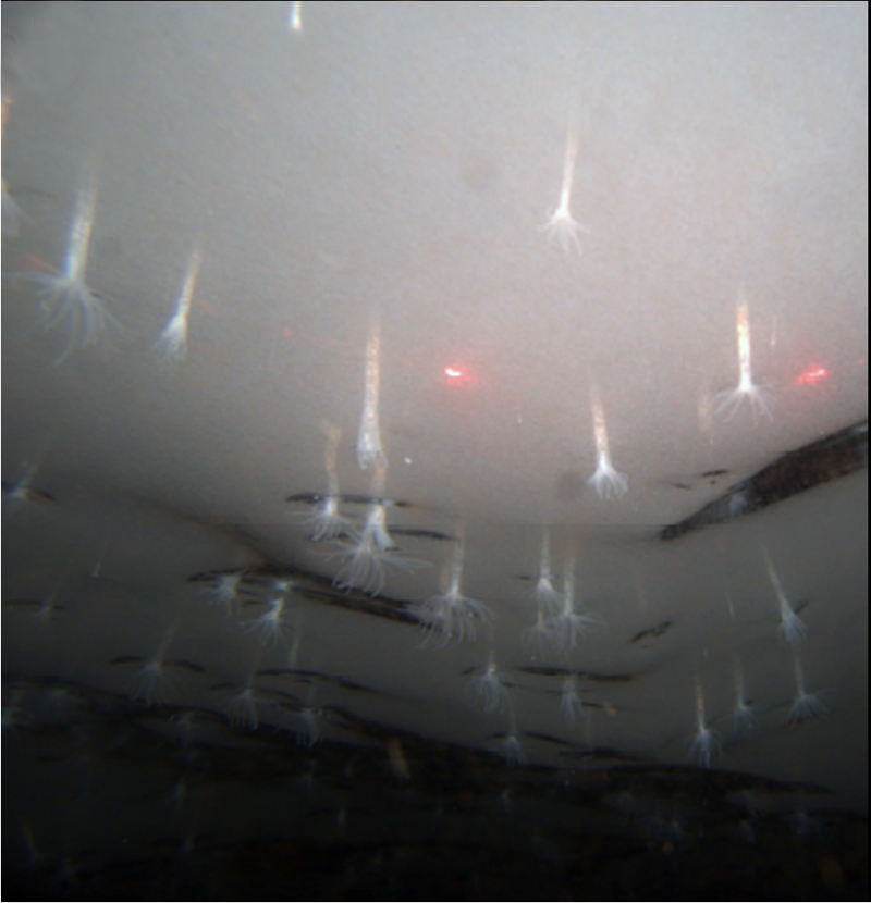Актинии Edwardsiella andrillae антарктида, животные, фауна, холод, эндемики