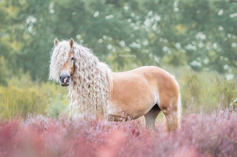 Эту красавицу зовут Шторм, она лошадь породы хафлингер голландия, девушка, животные, красота, лошадь, фото, шевелюра