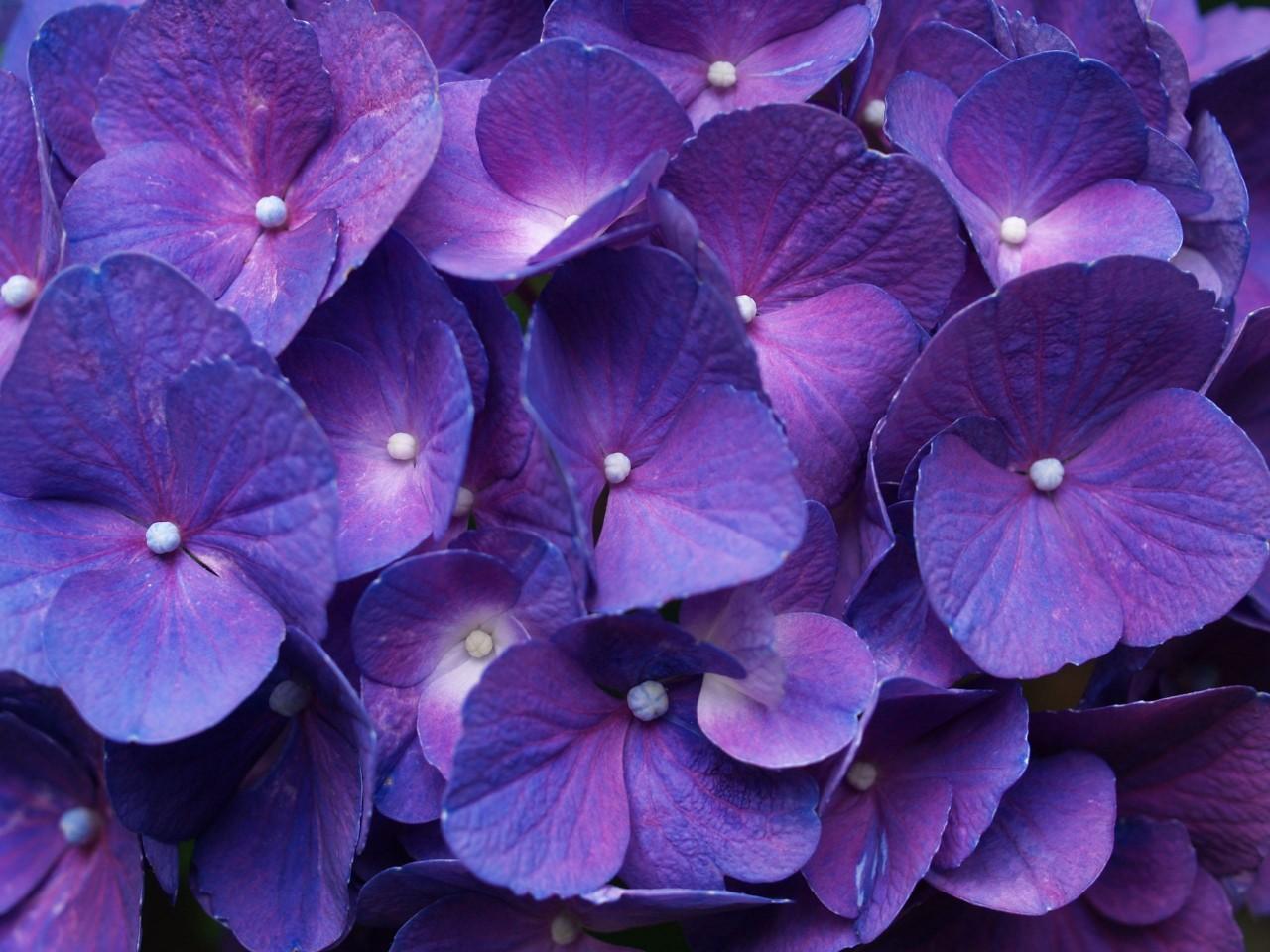Картинки с цветами фиолетово-синего