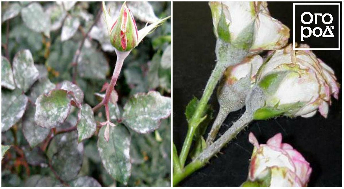 Мучнистая роса на бутонах роз