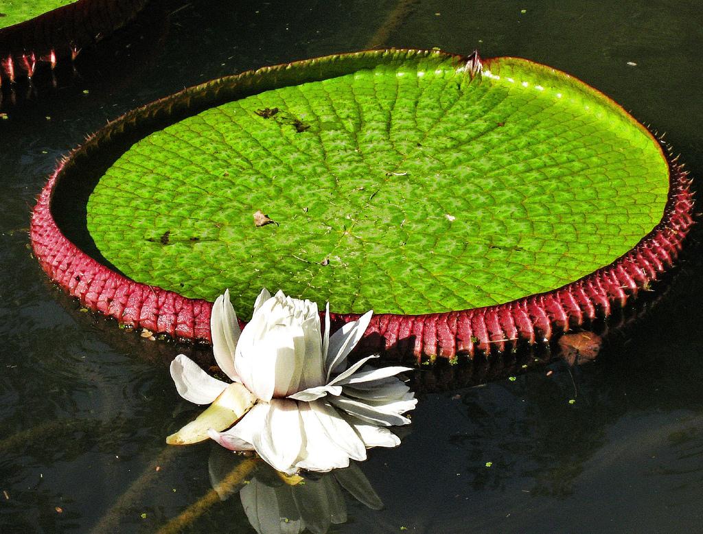 корочка растения всего мира картинки разновидность декоративной лианы