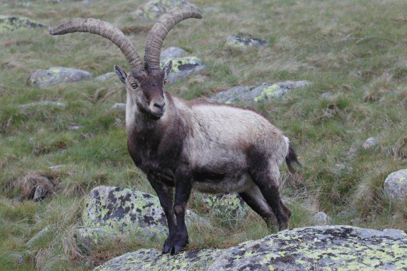 Бесейтский горный козел вымерли, животные, топ10