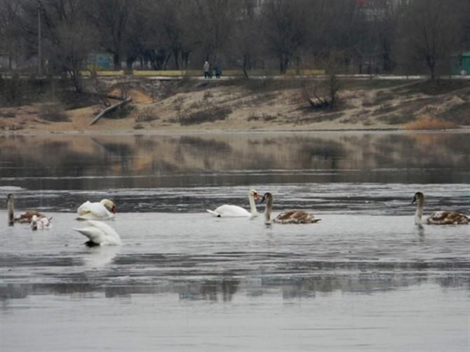 Женщина спасла целую стаю лебедей, замерзающих на пруду