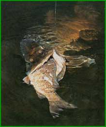 Огромная рыбка-приманка уже буквально растерзана