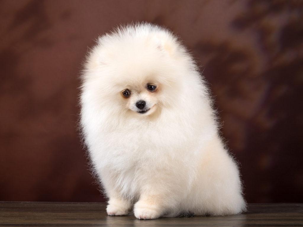 Фото собак породы шпиц карликовый фото