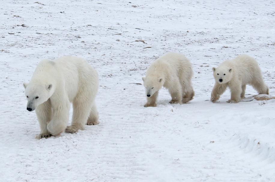 Косолапый беспредел. Нашествие белых медведей на Новой Земле показали на видео