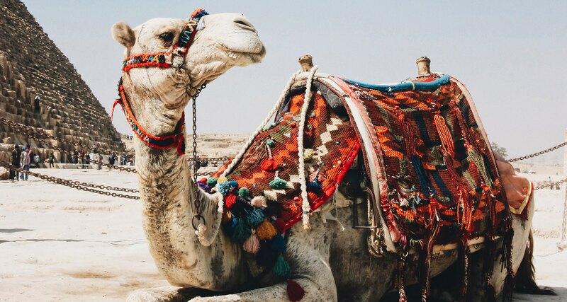 Сохраняют ли верблюды воду в своих горбах