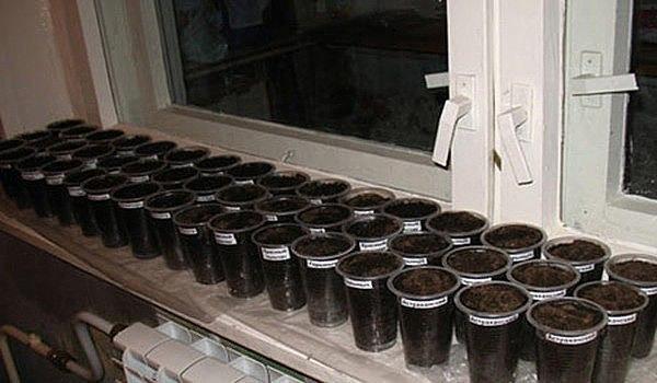 Как посадить перец на рассаду?