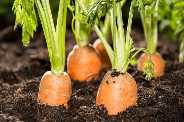 Все о выращивании моркови – подробная инструкция для начинающих морковь,огород