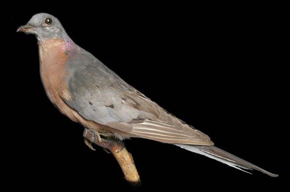 Странствующий голубь вымерли, животные, топ10