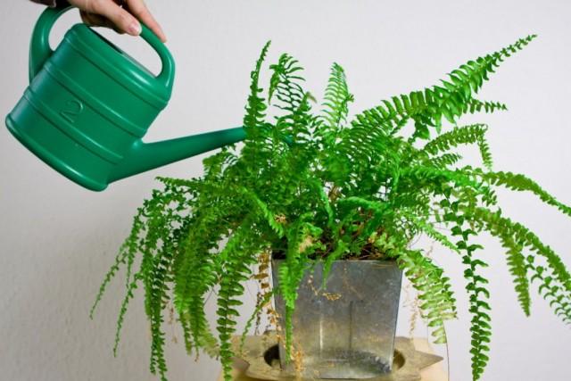 Нарушение полива может приводить к карликовости и замедленному росту комнатных растений